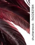 maroon cock feathers closeup | Shutterstock . vector #563282584