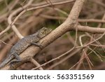 brown chameleon are adhering to ... | Shutterstock . vector #563351569