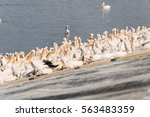 pelican migration at viker... | Shutterstock . vector #563483359