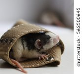 Small photo of Cute little baby fancy rat with curly whiskers hiding in a textile belt loop