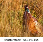 A Pheasant Bird In Wild Grass...