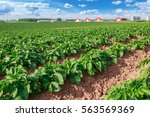Field Of Healthy Potatoes With...