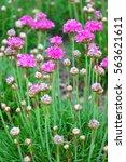 thrift  armeria maritima  | Shutterstock . vector #563621611