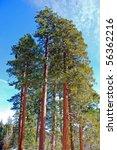 Redwood Trees   Yosemite