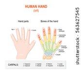 human hand parts and bones.... | Shutterstock .eps vector #563627545