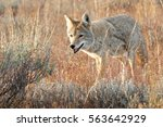 Coyote walking in grass, Wyoming, Grand Teton National Park