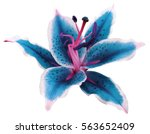 Stock photo lily turquoise white flower on a white background isolated with clipping path for design nature 563652409