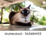 Siamese Cat Resting On  The...