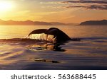 Humpback Whale Tail With...