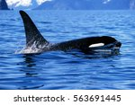 Killer Whale Surfaces And Show...