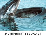 Humpback Whale Scoops Up Fish...