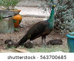 peahen with chicks | Shutterstock . vector #563700685