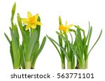 Stock photo narcissus flowers isolated on a white background 563771101