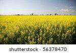 Canola crops glow beneath a hot sun. - stock photo