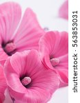 pink lavatera isolated on white   Shutterstock . vector #563853031