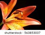 orange lily on darck backround   Shutterstock . vector #563853037