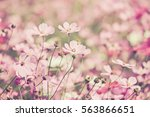 purple  pink  red  cosmos... | Shutterstock . vector #563866651