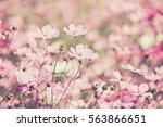 purple  pink  red  cosmos... | Shutterstock . vector #563866651