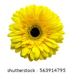 Gerbera Flowers. Yellow...