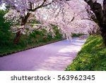 cherry blossoms sakura in... | Shutterstock . vector #563962345