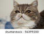 exotics cat breed | Shutterstock . vector #56399200