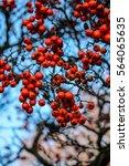 wild apples   Shutterstock . vector #564065635