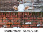 cow looking over a red brick... | Shutterstock . vector #564072631