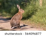 Stock photo european brown hare lepus europaeus 564096877