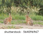 Stock photo european brown hare lepus europaeus 564096967