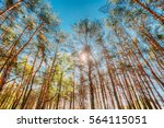 canopy of tall pine trees.... | Shutterstock . vector #564115051