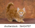 Stock photo cute red maine coon kitten playing 56414707