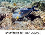Sohal Surgeonfish On The Coral...