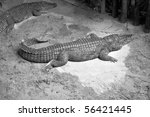 Small photo of A Caiman reptile in the Alligatoridae family