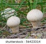 Common Puffball Lycoperdon...