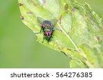 calliphora vicina on plant in... | Shutterstock . vector #564276385
