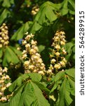 Small photo of Flowers of chestnut ( Aesculus hippocastanum ) at sunny spring day.
