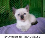 Stock photo cute siamese kitten 564298159