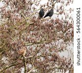 Small photo of Kestrel (Falco tinnunculus) in tree with jackdaws (Corvus monedula). Small female falcon (family Falconidae) at rest in alder tree (Alnus glutinosa) surrounded by small black crows
