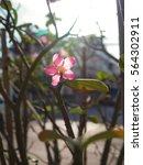 Small photo of Adenium obesum or desert rose or impala lily or mock azalea