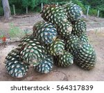 Piled Up Agave Fruit At Tequil...