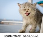 Chinchilla  Persian Cat   Crying