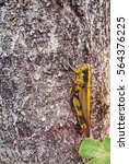 Small photo of Edgar Brown grasshopper perched on a forest tree.