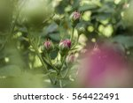 Stock photo buds of pink roses 564422491