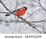 the bullfinch sitting on a... | Shutterstock . vector #564431659