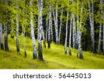beautiful scene of birch grove - stock photo
