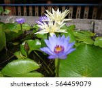 white lotus or waterlily | Shutterstock . vector #564459079