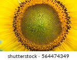Sunflower Is A Large Annual...