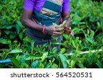 woman picking tea leaves in a... | Shutterstock . vector #564520531