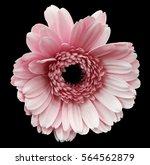 Pink Gerbera Flower  Black...