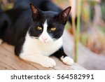 cat beautiful gesture and looks ... | Shutterstock . vector #564582991